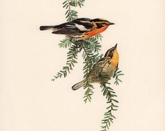JF Lansdowne Print Book Plate Art, Blackburnian Warbler