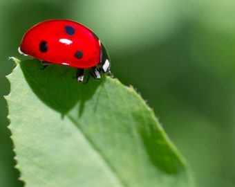 Ladybug Macro Photography - Nature Photography. Fine Art Photography. Garden Photography. Office Decor. Home Decor. Wall Art. Art Deco.
