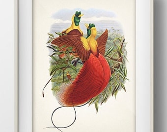 Red Bird of Paradise (Paradisaea rubra) - BP-50 - Fine art print of a vintage natural history antique illustration