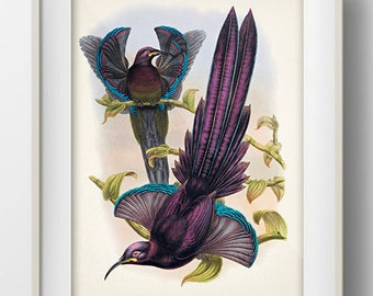 Elliot's Sicklebill Bird of Paradise - BP-08 - Fine art print of a vintage natural history antique illustration