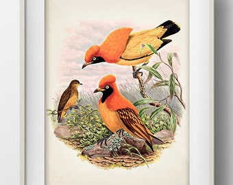 Golden Bird of Paradise or Masked Bowerbird (Xanthomelus aureus) - BP-09 - Fine art print of a vintage natural history antique illustration