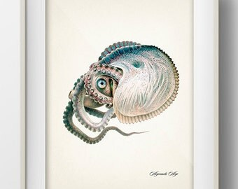Greater Argonaut Octopus (1896) - OC-25 - Fine art print of a vintage natural history antique illustration