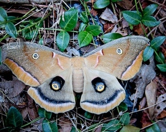 Moth wall art, Polyphemus moth, fine art photo print, nature photography, wildlife photography, insect picture, wall decor, decor for boy