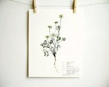 Queen Anne's Lace Print, #53, herbarium specimen art scientific wall art pressed botanical print dried wildflower art pressed plant art