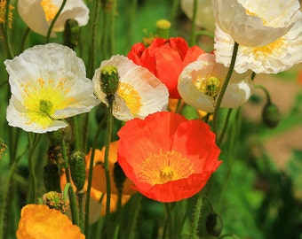 50* mixed Red California Poppy Seeds, Red Dominant