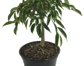 """Stylized Oriental Weeping Fig Tree - Ficus - Bonsai or House Plant - 6"""" Pot"""