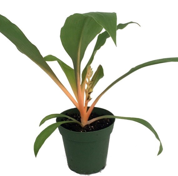 Growing A Spider Plant: Orange Mandarin Spider Plant Chlorophytum Easy By HirtsGardens