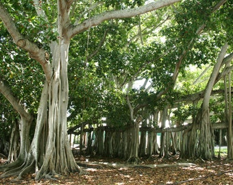 Banyan Tree [Ft. Myers, FL]
