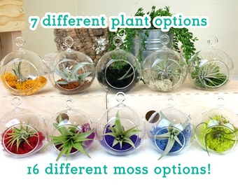 """3"""" globe airplant / tillandsia vase kit with your choice of moss and tillandsia plant"""