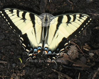 Live Eastern Tiger Swallowtail Butterfly Digital Download