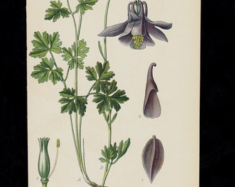 1896 BOTANICAL antique print, flower print chromolithograph of a  Granny's Bonnet or Columbine