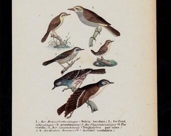 1854 Antique BIRD print