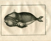 1804 Antique Print Right Whale, Cetaceans, Engraving after De Seve, La Baleine Franche Buffon
