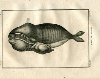 1804 Antique Print Right Whale, Cetaceans, Engraving after De Seve, Marine Mammal, Sea Life, Ocean, Buffon