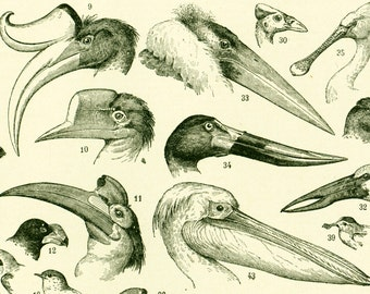 1897 Antique Print of Bird Beaks, Original Lithograph, Old Engraving, Larousse Encyclopedia, 115 Years Old, Natural history