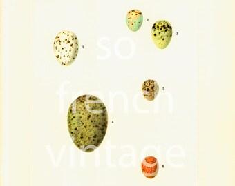 1961 Eggs vintage illustration Bird Print, Ornithology, nature wall art, Natural history