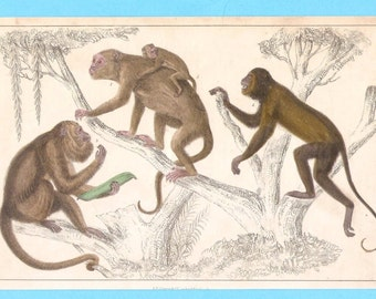 Antique animal (monkeys ) illustration