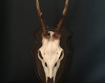 Roe Deer Antlers - Quality base