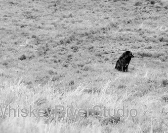 Black Timber Wolf print. Canvas photo print. Canvas Photography. Wall Art. 8x10, 11x14, 16x20, 20x24.