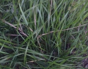 Sweet Grass Organic