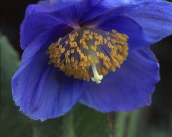 50 Poppy Seeds Meconopsis Grandis Blue Poppy Seeds