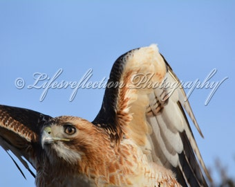 The Hunter Red Tail Hawk.