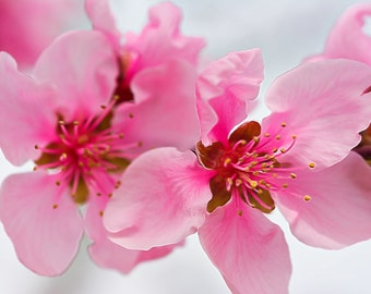 Peach Blossoms #1988, Nature Photography, Fine Art Photography, Digital Art, South Carolina