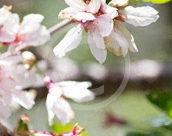 Cherry Blossoms (8x10)
