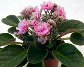 "African Violet 'myDelight' (Pink Yellowstone)  Established House Plant in 3"" Pot By Jordan's Jungle"
