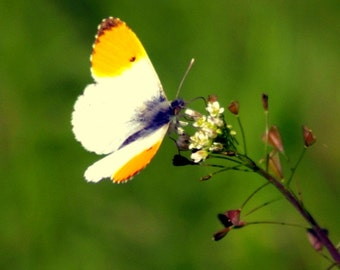 butterfly photograph, nature photography, wildlife, countryside scenery, wall art decor gift, country landscape