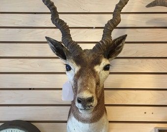 Taxidermy Antelope head