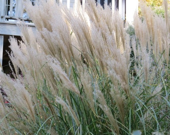 Japanese Silver Grass (Micanthus Sinensis)-perennial-live plant