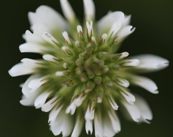 White Clover One, Flower Photograph, White Clover Photograph, Flower Art, Nature Photography, Wall Art, Home Decor