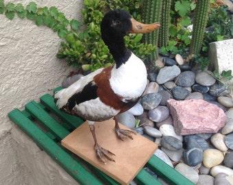 Mr D.Duck