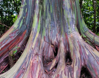 "Fine art photography, 11""x14"" print, Rainbow Eucalyptus, tree, Maui, Kodak Endura Metallic"