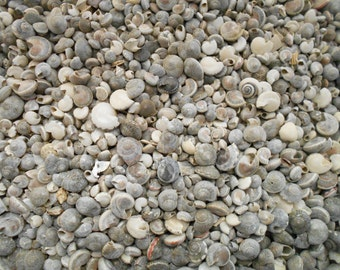 "3 lbs (about 5000 shells) Natural Umbonium Mini Shells (1/4"") Crafts Seashells BULK"