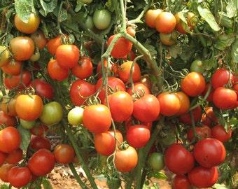 Floradade Tomato (100=>6,400 seeds) wholesale floridade bulk south florida #204