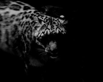 B&W Snow Leopard on Poster
