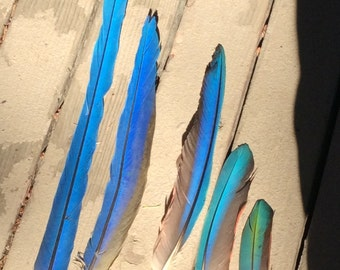 Macaw Feathers Blue And Gold and Greenwing All Lengths