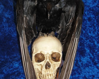 Taxidermy crow covering skull