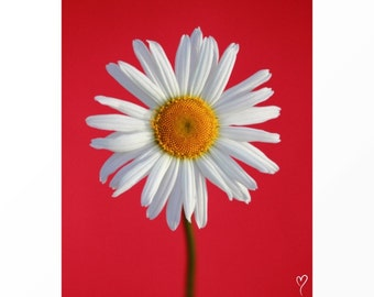 Red Wall Art, Flower Wall Art, Red Art Print, Daisy Art Print, Flower Fine Art, Home Decor