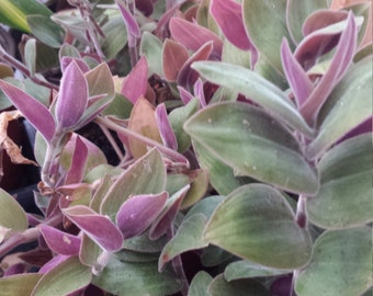 "Baby Bunny Bellies ""Fuzzy Wandering Jew"" Easy Trailing Live House Plant"