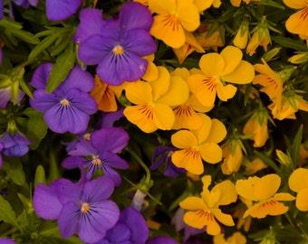 DIGITAL DOWNLOAD:  Purple and Yellow Pansies