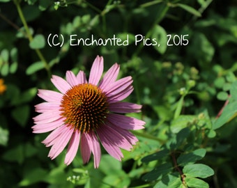 Botanical Photography: Cone Daisy- nature photography, floral, flower, garden