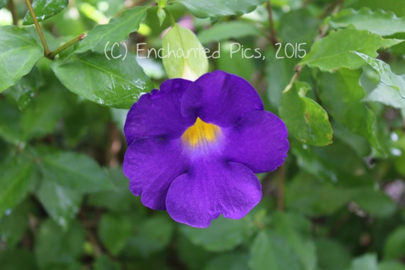 Botanical Photography: King's Mantle- nature photography, floral, flower, garden, purple