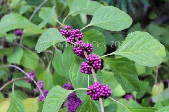 Botanical Photography: Purple Berries- nature photography, garden, bush, berries, purple