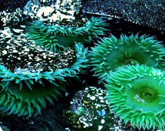 Sea Anemone Oregon Color Photography Print