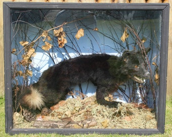 Taxidermy - A Black Fox mounted naturalistically in glazed wooden case