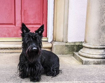 Small Scotty Dog Photograph (Isla) , Red Door,pet photography,home decor, children's room