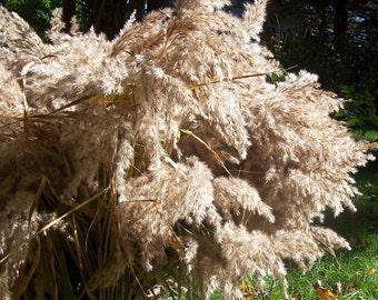 Decorative Grass, Reed Grass.  Bouquet, floral arrangements, dried flowers, craft supplies.  Wedding.